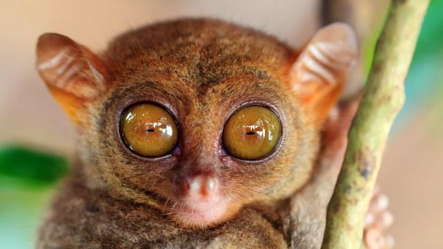 Phillipine tarsier