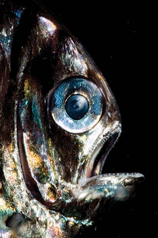Hatchetfish