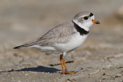 Piping plover: Mdf via Wikimedia Commons