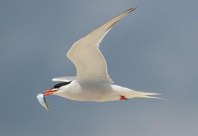 Tern with fish: Badjoby via Wikimedia Commons