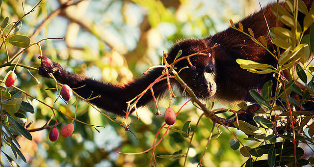 Juvenile howler monkey picking berries: Alphamouse via Wikimedia Commons