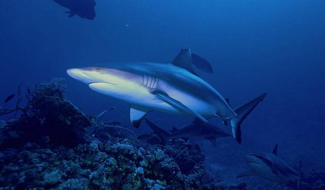 Gray reefs sharks: Albert kok via Wikimedia Commons