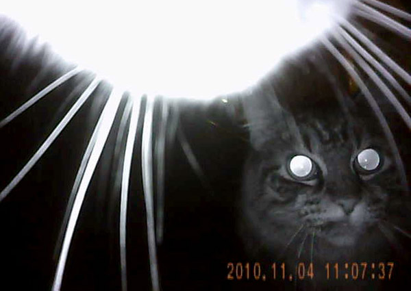 Night kitteh's eyes penetrate your soul. University of Georgia and National Geographic Remote Imaging